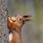 Squirrel with a nut | Mailing's Missive about the environment